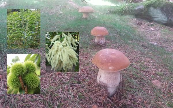 Steinpilz-Mykorrhiza-Edelkastanienbaum