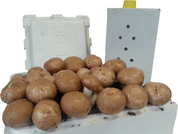 Braune Champignon Fertigkultur