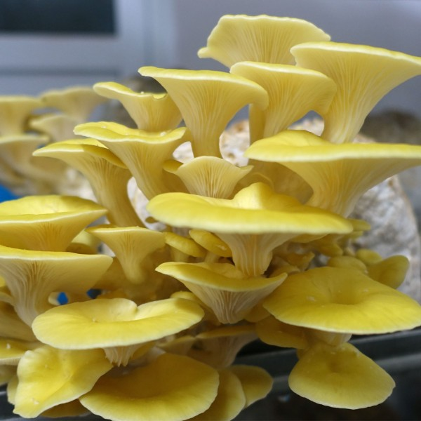 Gelber Seitling Fertigkultur, Lemonenseitling Pilzsubstrat