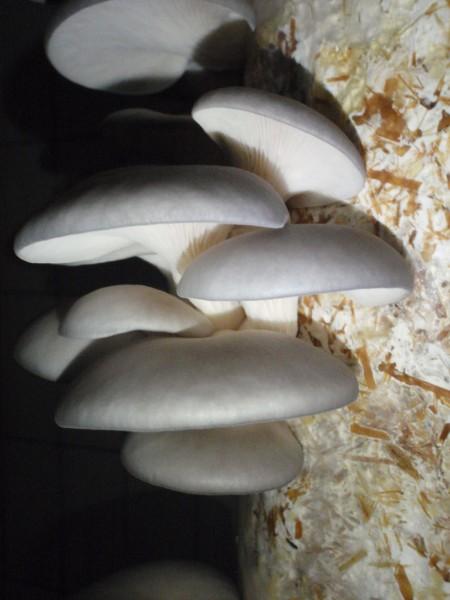 Austernseitling Körnerbrut