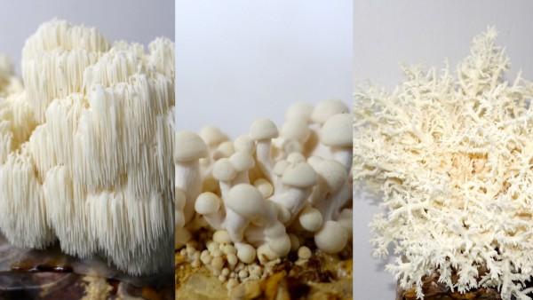 Exklusiver weißer Dreier - Pom-Pom, Shimeji, Frisee